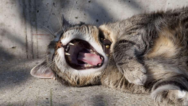 Gaehnende Katze
